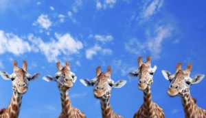 1 Giraffes