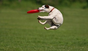 3 Dog and Frisbee