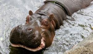 6 Hippo